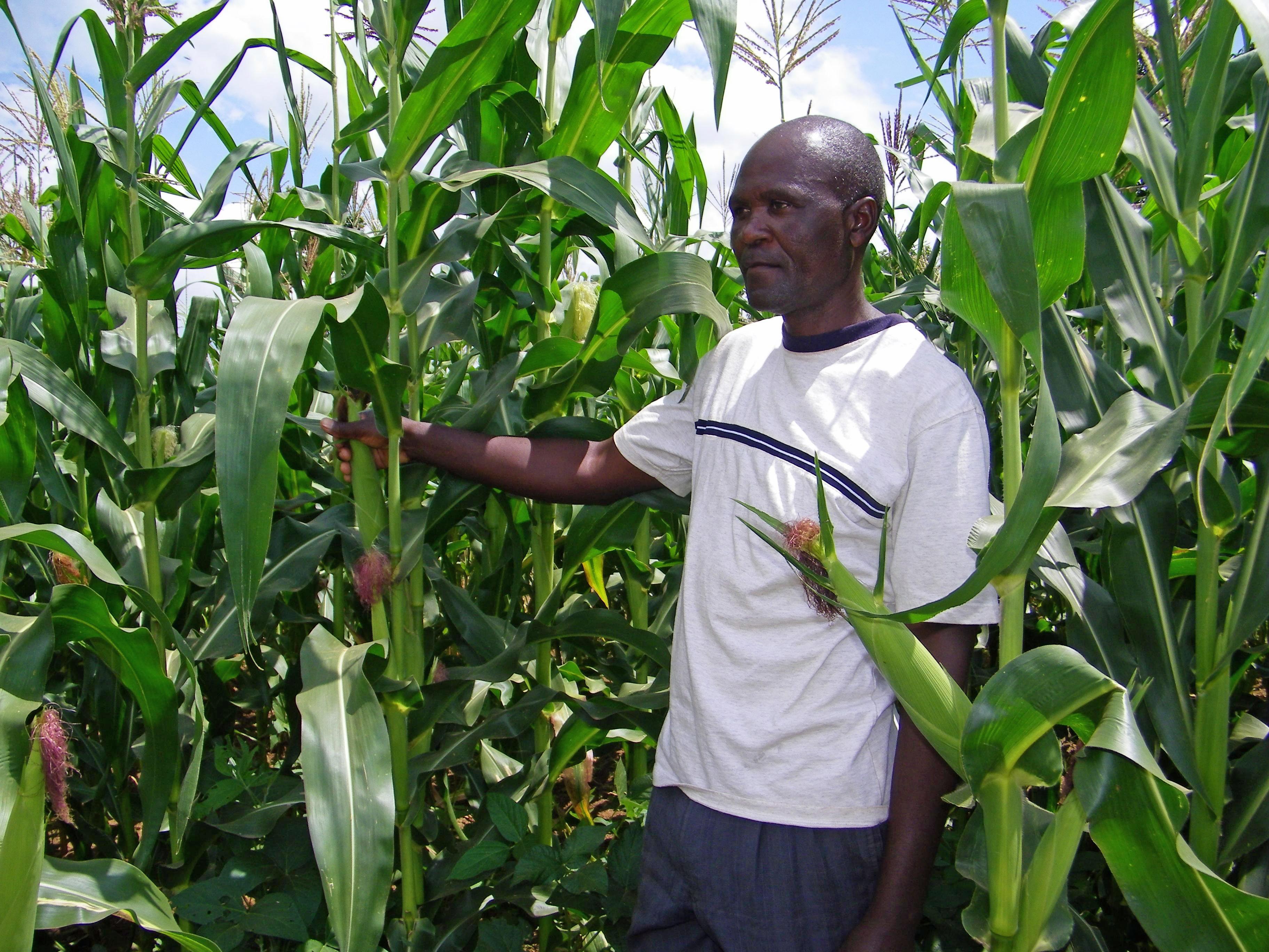 ⒸMillennium Promise Japan   Farmer monitoring crops in Sauri cluster, Millennium Village Kenya